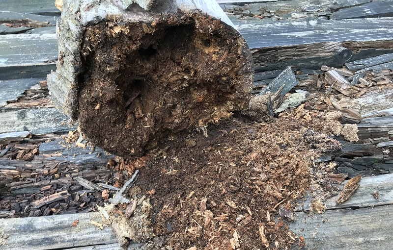 材害虫は健全な状態の木材よりも前記の腐朽菌の被害にあった木部に入り込むことが多いです。